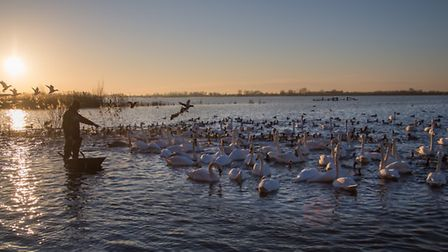 L-R: Bewick's swans at WWT Welney CREDIT Richard Dunn/WWT; Whooper swans arriving at WWT Welney CRED