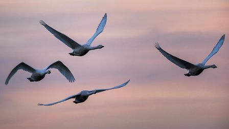 Swans on the reserve at the WWT Welney at sunset. Picture: Matthew Usher.