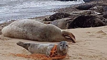 Seal cub stuck in netting at at Horsey. Picture: Tammie Grimmer