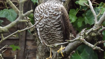 A sparrowhawk pictured in a Norwich garden. Picture: Graham Elvin