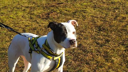 Bella, who is currently at Dogs Trust Snetterton and is looking for a permanent home. Picture: DOG T