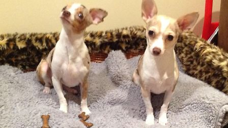 Peggy and Pip, the two rescued Chihuahuas, are now living happily ever after in Hunstanton. Picture