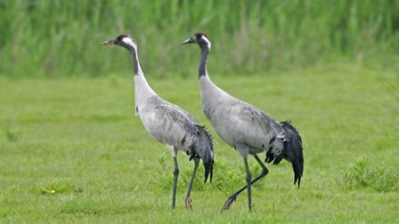 A pair of cranes at Lakenheath Fen, which is hosting a walk and talk about the majestic birds.Pictur