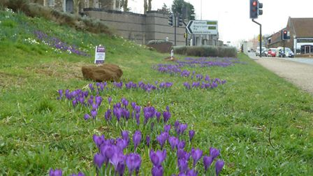 Crocuses in bloom in Downham market. Picture: Ray Starling