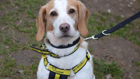 Suzie the beagle is in need of a home. She currently lives at Dogs Trust Snetterton rehoming centre.