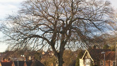 The beech tree in Elm Grove due to be felled. Picture: Margaret Todd