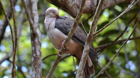 Norwich scientists are trying to save the endangered pink pigeon. Picture: Durrell