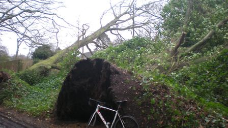 Storm Doris brought down two large trees at the top of Beech Drive. pic: Norwich City Council.