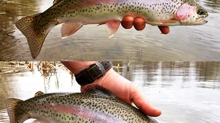 One off Jimmy Sayer's rainbow trout being returned at Rocklands Mere. Picture: FISHERY.