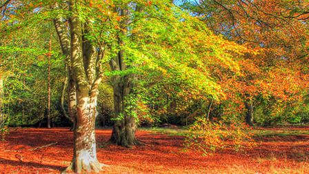 Autumn in Thetford Forest Picture: PICASA