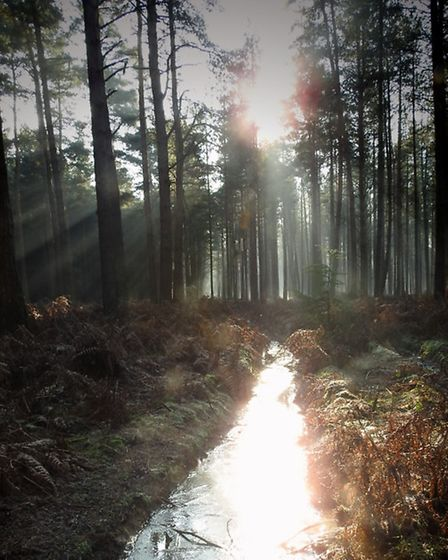 The January sun reflects off the ice in Thetford Forest Picture: Rachel Waller