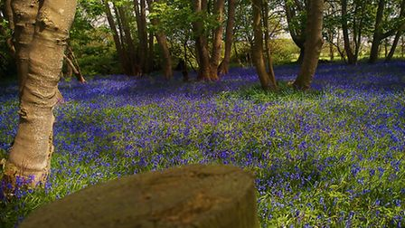 The Bluebell walk through the woods at Dunwich (2015) Picture: Alison Connors