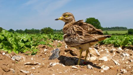 A stone-curlew on a typically fint-strewn crop on a farm in the Brecks Picture: RSPB