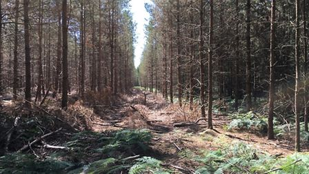 Thetford Forest. Picture: Rebecca Murphy