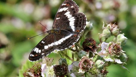 The White Admiral Butterfly is listed as a priority by conservationists. Picture by Anne Marks