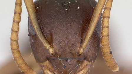 Lasius neglectus, an alien ant species that people are being asked to look out for in Norfolk. Pictu