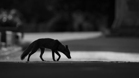 Urban Fox, by Kyle Moore, winner of the Young Mammal Photographer of the year 16-18. Picture: KYLE M