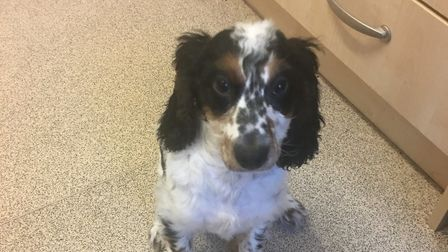 Benji the Cockapoo was drowned by burglars in Cobholm, Great Yarmouth. Photo: Mark Phillips