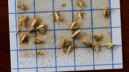 The common, or webbing, clothes moth, can cause damage to historic collections, fabric and furnishin