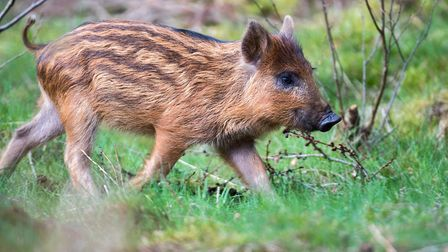 A lone wild boar hoglet, otherwise known as a 'humbug' (Picture: Steve Plume)