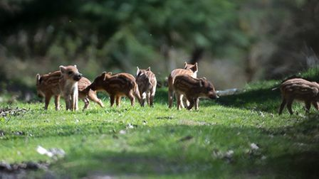 Wild boar piglets in the Forest of Dean. Could this be a common sight in our woods and forests in th