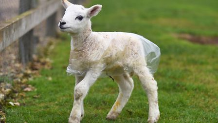 The first lambs of spring have arrived at Church Farm in Stow Bardolph. Picture: Ian Burt