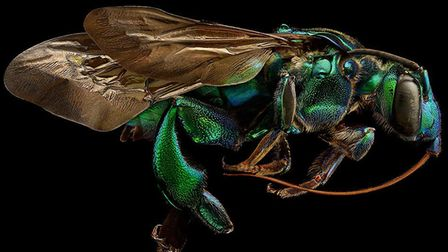 Amazingly detailed image of a Orchid Cuckoo Bee, part of a ground breaking project by British photog