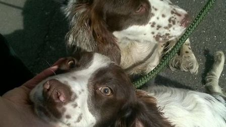 The two spaniels found in Chatteris. Picture: Cambridgeshire Constabulary
