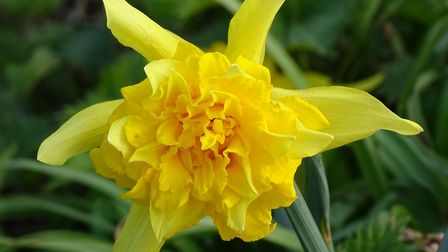 Beautiful rich colour of the daffodil. Photo by Susan Oldfield