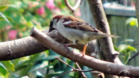 """""""Arriving back after a long break I saw this house sparrow in our tree top feeding place. It's love"""