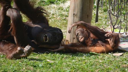 Life goes on as normal for the Orangutans at Paignton Zoo. Photo: Paignton Zoo