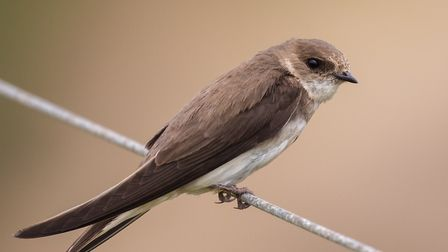 An adult Sand Martin (Riparia riparia) perched on a wire fence