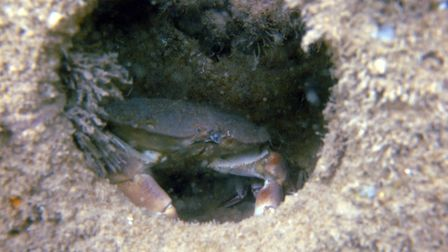 An edible crab takes up home on the reef