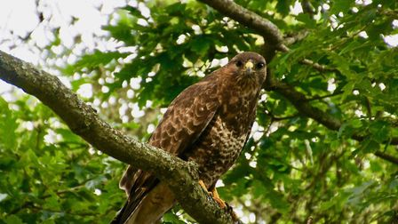 A buzzard spotted at Marine Drive