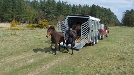 The ponies being unloaded at their new homes in Breckland. Picture: Matt Blissett/Norfolk Wildlife