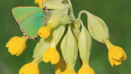 Green hairstreak butterfly. Picture: Rob Solomon