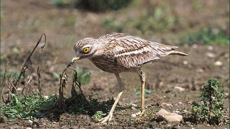 A Stone Curlew, one of the Brecks rare species. Picture: Simon Booth