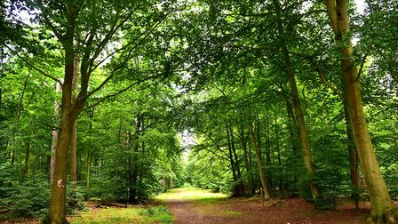 Thetford Forest which is in the Brecks. Picture: Sonya Duncan