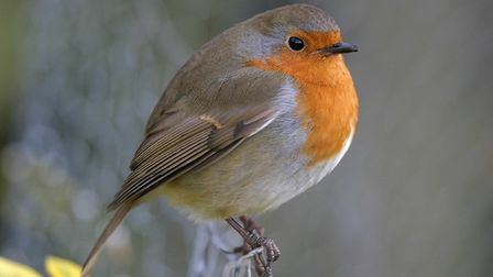 The robin is one of Britain's favourite garden birds. Picture: JOHN HARDING/British Trust for Ornith