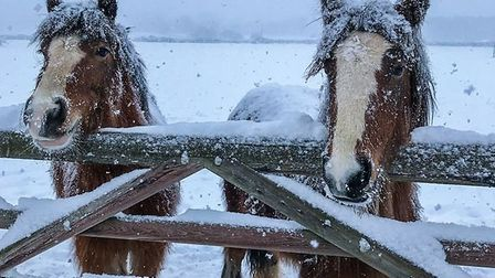Rescue ponies at World Horse Welfare's Hall Farm in Snetterton. Picture: World Horse Welfare
