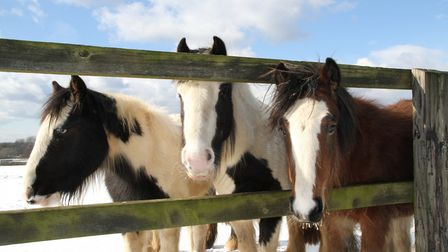 Rescue ponies take in the snow at World Horse Welfare's Hall Farm in Snetterton. Picture: World Hors