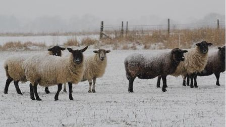Sheep looking comfortable in Methwold. Picture: Judy Webb