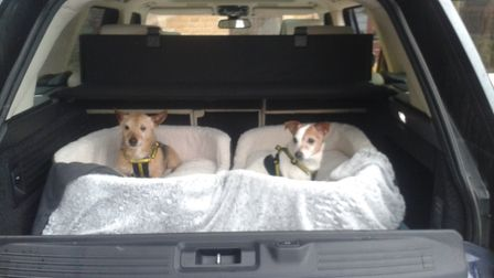 Bam Bam and Pebbles leaving Norfolk for their new home in Scotland. Picture: Dogs Trust