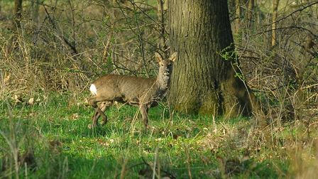 A deer in Thetford Forest. Picture: Simon Parker