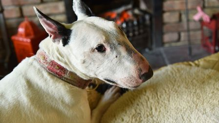 Liz Haslam is looking for a new home for her English Bull Terrier sanctuary.Byline: Sonya DuncanCopy