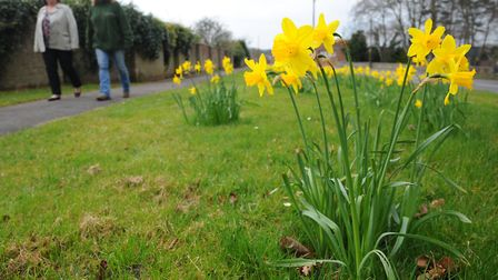 Daffodils planted by the Brandon in Bloom team. Picture: Sonya Duncan