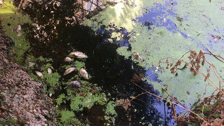 Dead fish in the River Thet, in Thetford. Picture: Rebecca Murphy