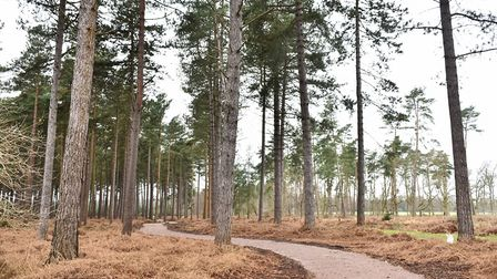 A new all ability trail is being constructed at High Lodge near Thetford, in January this year. Pict