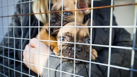 French Bulldogs seized from illegal smugglers at the UK border, held in quarantine and cared for by