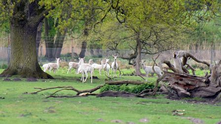 Fallow deer are the only remaining animals on the Kilverstone Estate, formerly the home to Kilversto